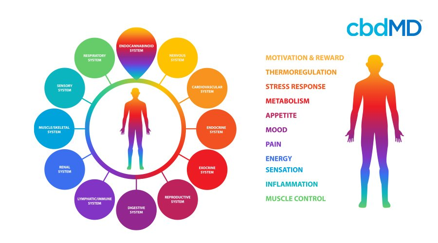 A colorful diagram shows a human body and the many functions that the human body goes through