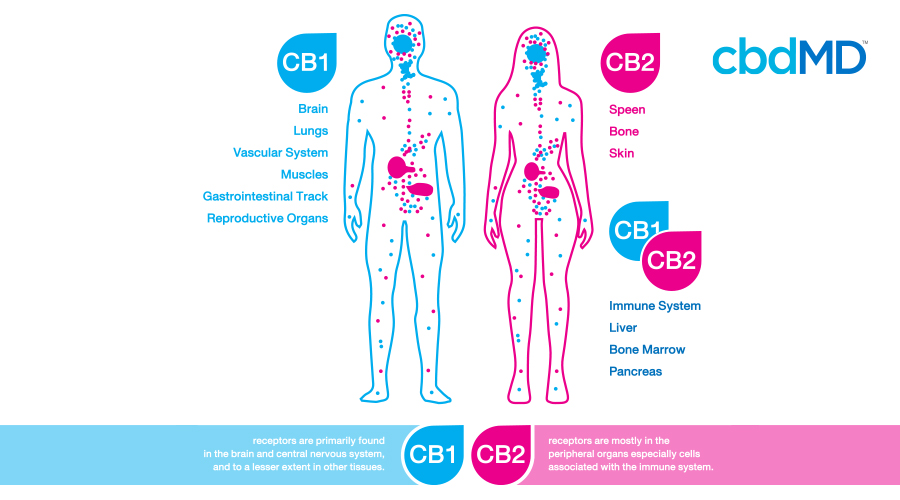 A diagram of the male and female body in blue and pink shows the body systems that interact with the endocannabinoid system