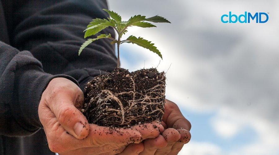 A man holds in his hands a cannabis seedling rooted in rich soil