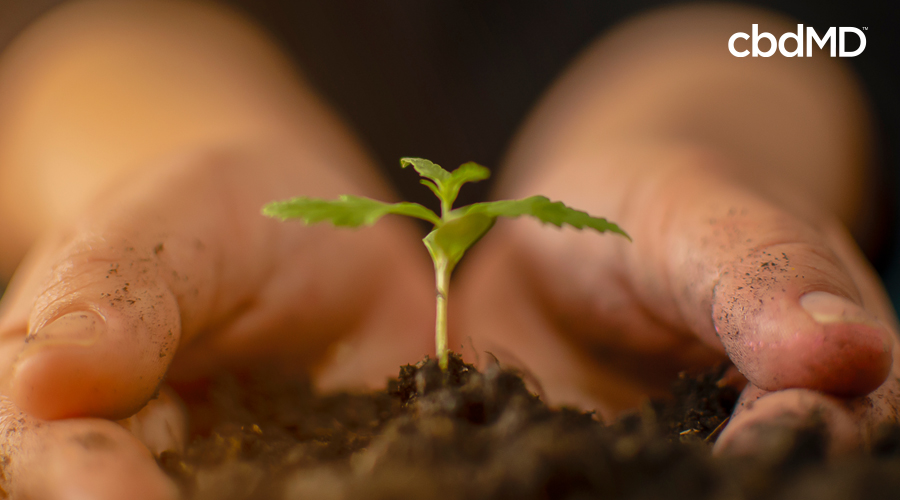 Cupped hands hold a cannabis seedling in rich dark soil