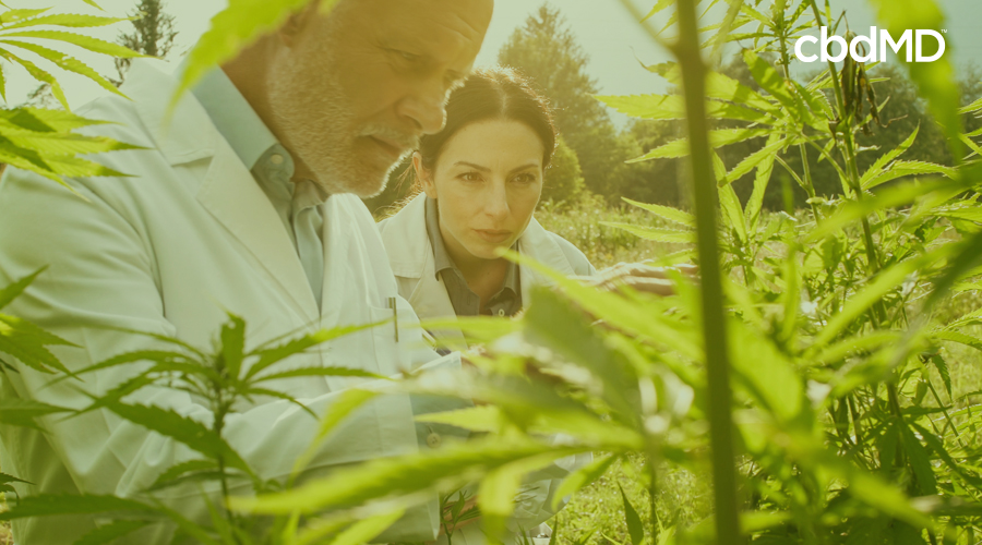Two scientists, a man and a woman in lab coats, study mature cannabis plants