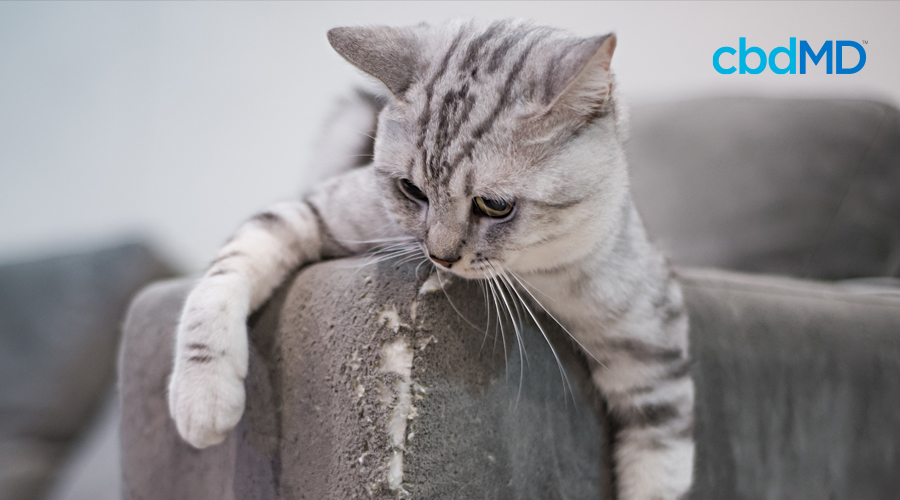 A grey and white cat sits on the arm of a couch that is torn up