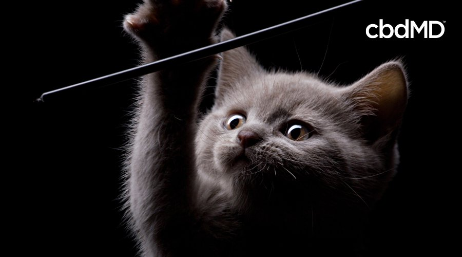 A little grey kitten reaches up to play with a toy in the dark