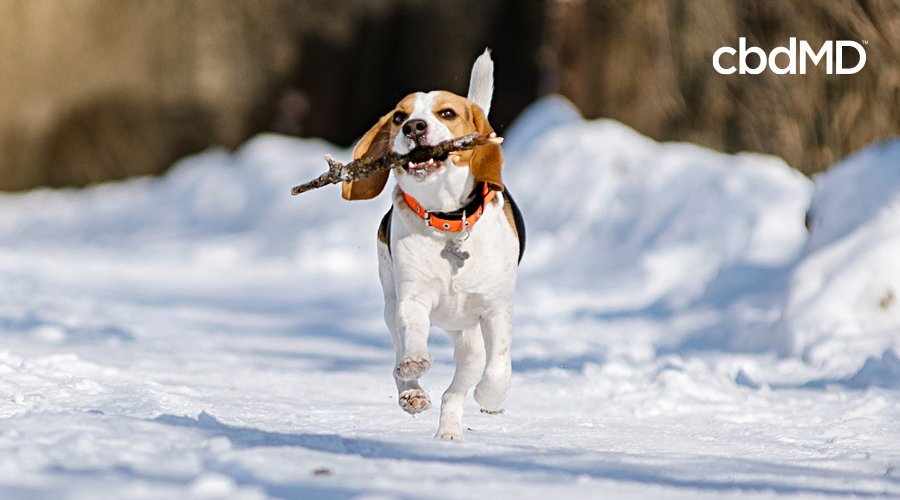 A small beagle runs through the snow carrying a very large stick in its mouth