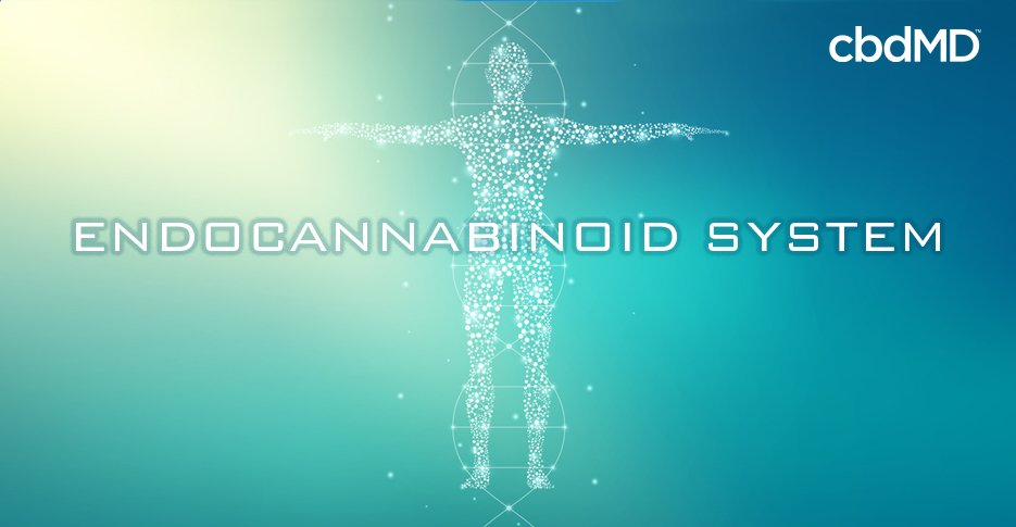 What is the Endocannabinoid System? An Introduction to the ECS