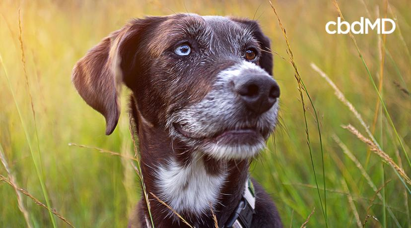 Using CBD Oil for Senior Dogs and Cats: Can It Really Help?