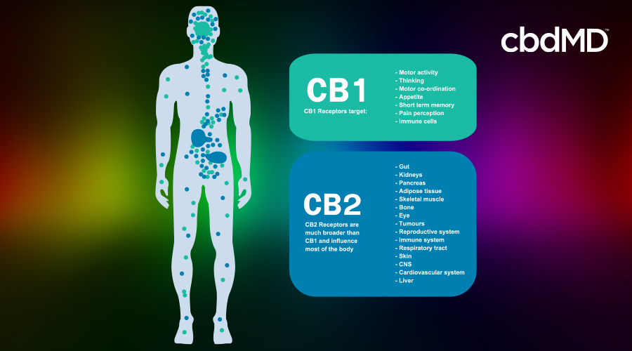 Diagram of CB1 and CB2 receptors in the body.