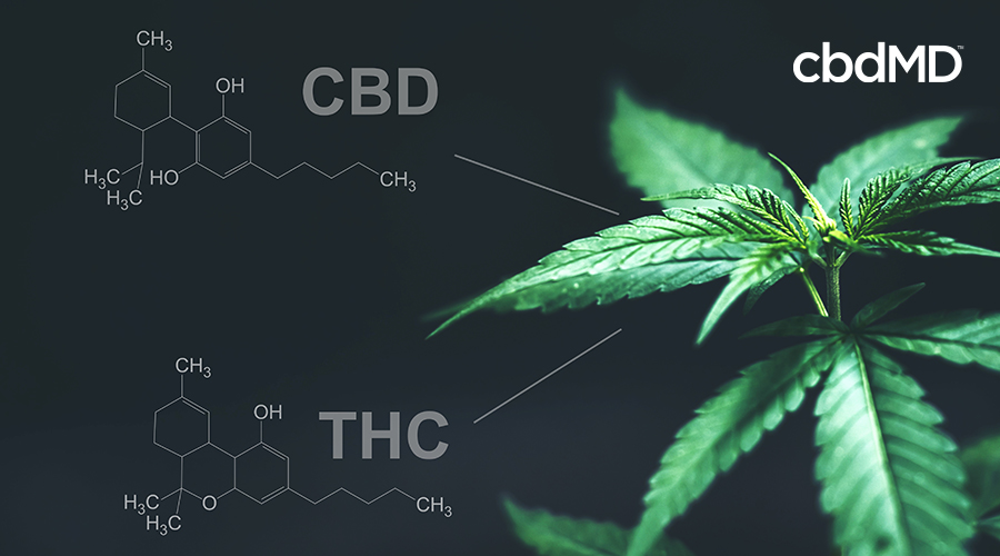 A cannabis plant sits with two bottles nearby and thc and cbd written across the image
