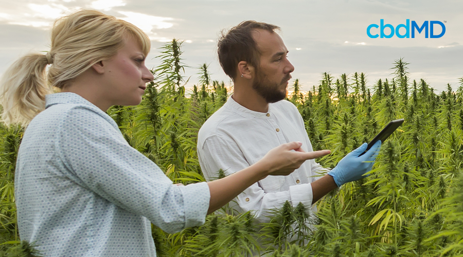 Short-haired man with brown hair and beard in white shirt and gloves holds tablet in hemp field next to woman with blonde ponytail in light blue dotted shirt