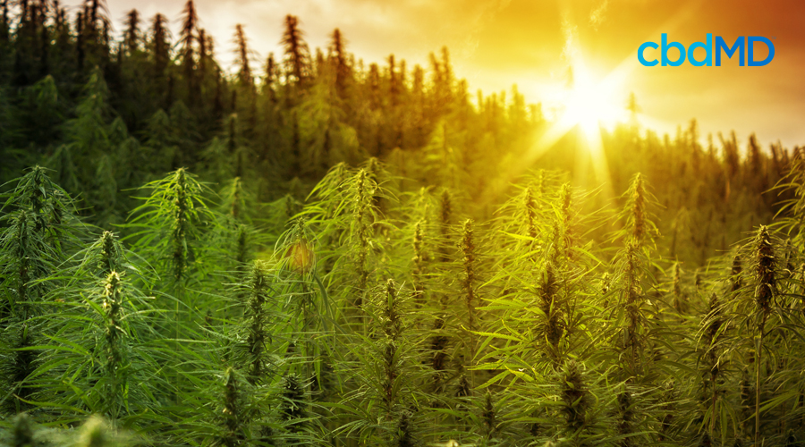 The sun rises over a field of mature hemp plants