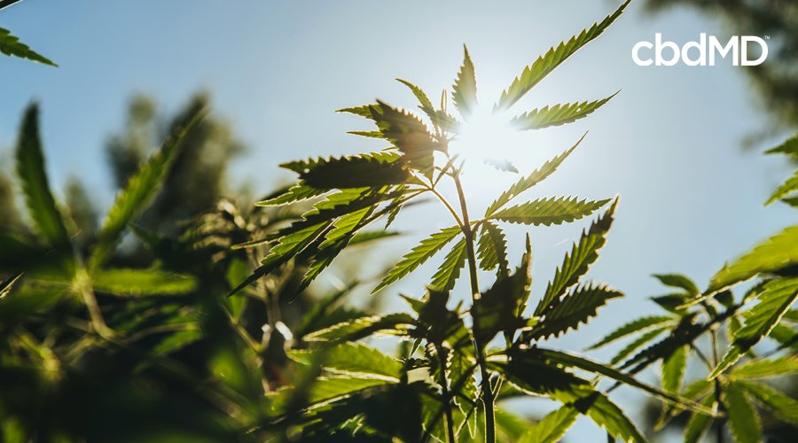 The sun shines brightly in a clear sky through a mature hemp plant