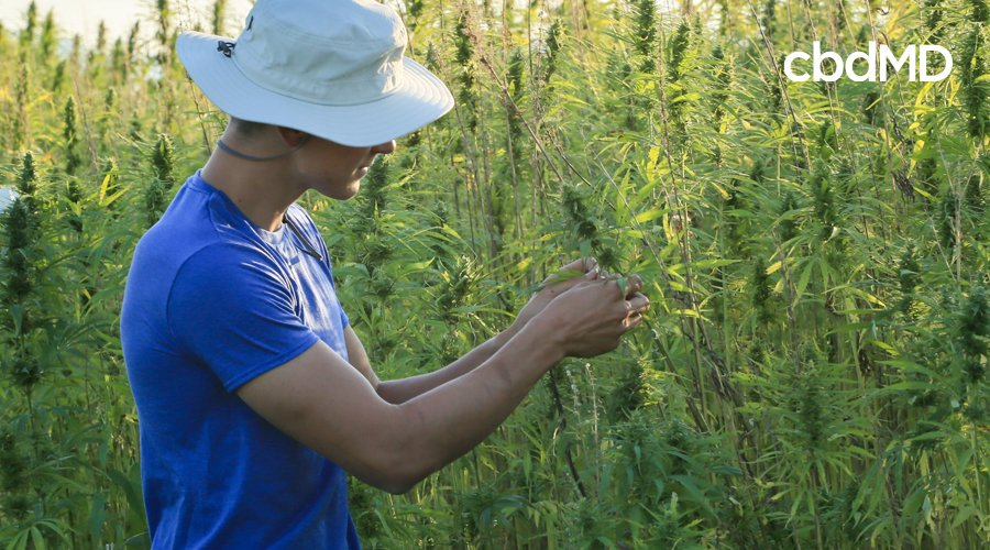 A young man in a blue shirt and white hat cultivates grown hemp plants
