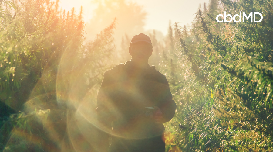 Dark outline of person walking through hemp field with sunlight shining