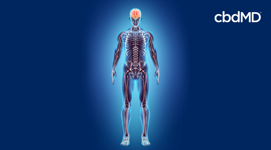 How Can I Strengthen My Endocannabinoid System?