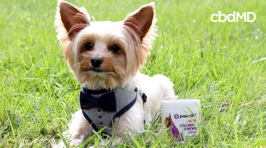Small dog relaxing in the grass with a tub of cbdMD calming chews for dogs