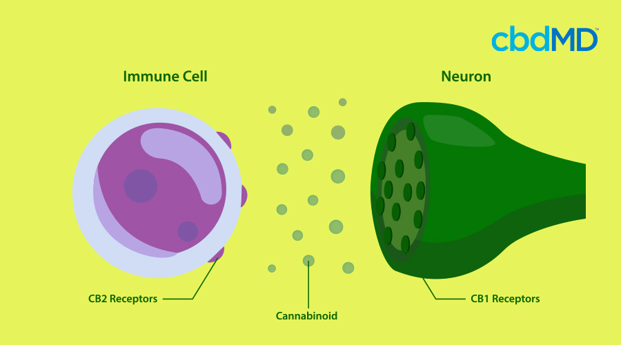 A diagram shows the relationship between CB2 receptors, cannabinoids, and neurons